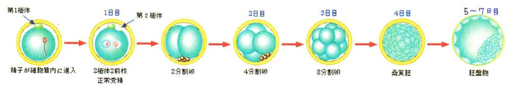 受精卵の発育図